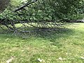 2019-05-23 14 44 15 A Cherry tree broken during a storm, with all the lower leaves having been eaten by deer, along a walking path in the Franklin Glen section of Chantilly, Fairfax County, Virginia.jpg