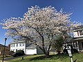 2021-03-30 10 58 44 Cherry blooming along Hidden Meadow Drive in the Franklin Glen section of Chantilly, Fairfax County, Virginia.jpg