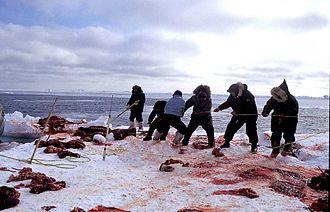 Hunting - Inuit walrus hunters, 1999