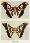 23-Indian-Insect-Life - Harold Maxwell-Lefroy - Attacus-ricini.jpg