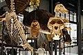3-dimensional cladogram - Burke Museum - detail 01.jpg