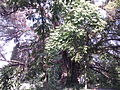 400 years old Unknown tree 4.jpg