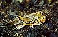 4 Migratory locust Locusta migratoria.jpg