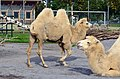 50 Jahre Knie's Kinderzoo - Camelus bactrianus (Trampeltier) 2012-10-03 15-16-44.JPG