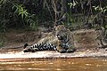 5236 Pantanal jaguar JF.jpg