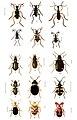 76-Indian-Insect-Life - Harold Maxwell-Lefroy - Adephaga.jpg