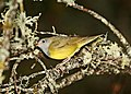 813 - Connecticut Warbler (6-6-2018) south county line road, Bayfield County, WI -04 (41937384324).jpg