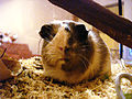 8 month old female guinea pig 2.JPG