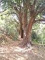 ARBOLES DE MANGO - panoramio.jpg