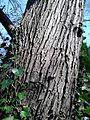 AZ0016. Ulmus Purpurea bark. Warriston Cemetery, Edinburgh.jpg