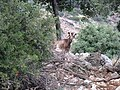 A Cretan goat - Flickr - S. Rae.jpg
