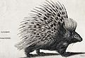 A common porcupine. Engraving by Heath. Wellcome V0021236.jpg