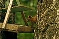 A common squirrel.jpg
