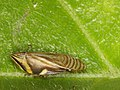 A flatt spittlebug from a West-Javan lowland rainforest (6370788175).jpg