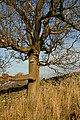A mature ash tree on Blaikie's Hill - geograph.org.uk - 1106563.jpg