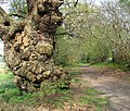 A mighty old oak - geograph.org.uk - 1253968.jpg