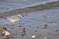 A piping plover at the Nantucket National Wildlife Refuge, MA. Credit- Amanda Boyd-USFWS (5974496685).jpg