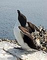 A razorbill spreading its wings on Inner Farne - geograph.org.uk - 1379369.jpg