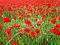 A sea of poppies^ - geograph.org.uk - 1358343.jpg