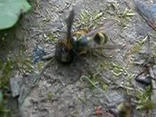 Fichier:A wasp eating a fly DSCN2741.ogv
