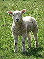 A well-developed Texel lamb - geograph.org.uk - 767722.jpg