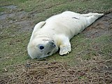 A young seal at Donna Nook - geograph.org.uk - 845239.jpg