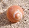 Ab mollusca 30.jpg