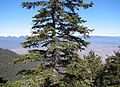 Abies borisii-regis crown.jpg