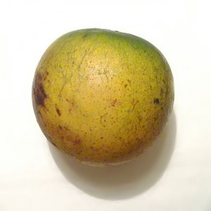 Pouteria caimito -  The fruit of Pouteria caimito is typically 3-9 cm long and yellow when mature.