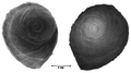Abyssochrysos melanioides operculum.png