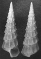 Abyssochrysos melanioides shell.png