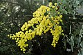 Acacia baileyana kz01.jpg