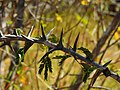 Acacia collinsii (branch) in Costa Rica.jpg