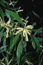 Acacia maidenii.jpg