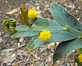 Acaciaglaucoptera.jpg