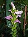Acanthus montanus 002.JPG