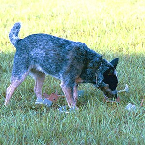 Obedience trial - An Australian Cattle Dog finding a scent article as part of obedience competition.