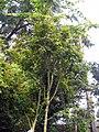 Acer palmatum 7zz.jpg