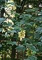 Acer pseudoplatanus 3.jpg