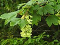 Acer pseudoplatanus RF.jpg