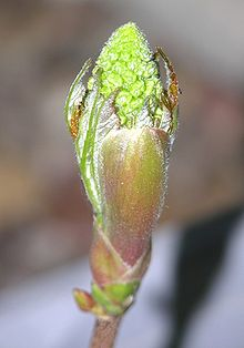 debourrage d'une fleur de sycomore