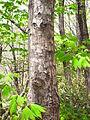 Acer pseudosieboldianum 04.JPG