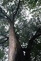 Acer saccharinum 21zz.jpg