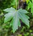 Acer saccharinum in Eastwoodhill Arboretum (3).jpg
