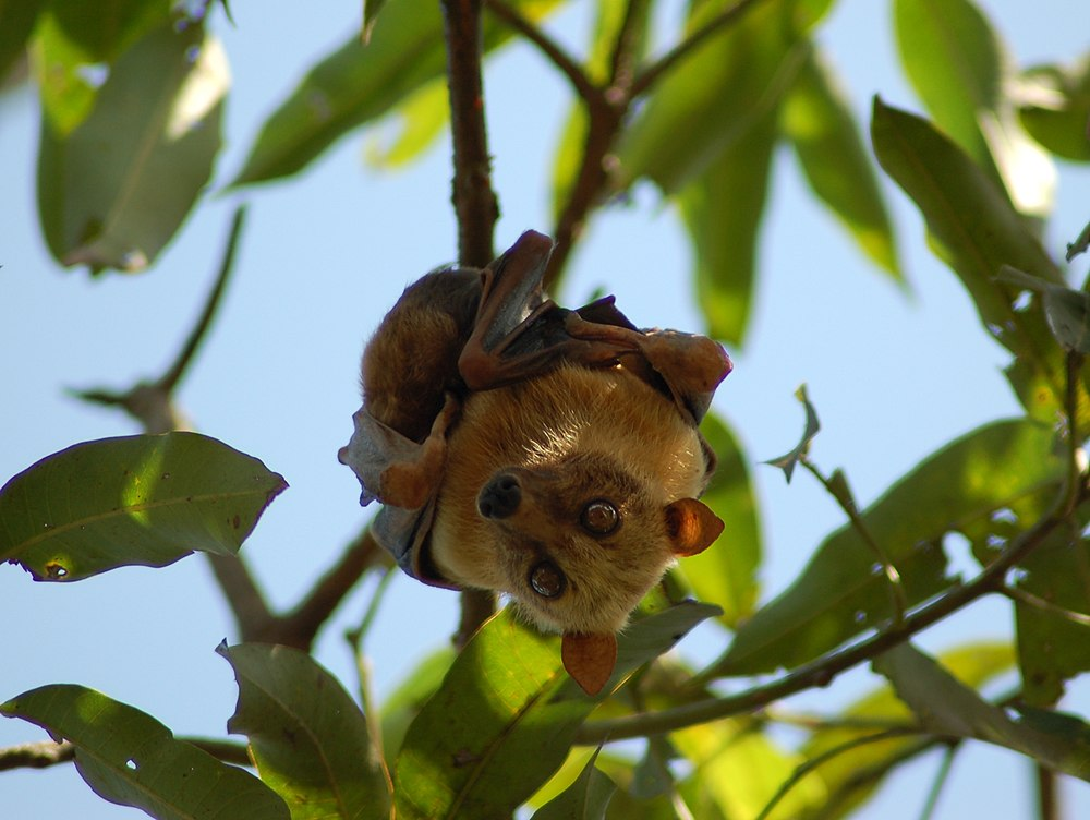 The average adult weight of a Sulawesi flying fox is 383 grams (0.84 lbs)