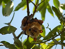 Sulawesi flying fox - Wikipedia