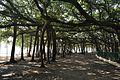 Acharya Jagadish Chandra Bose Indian Botanic Garden - Howrah 2011-01-08 9724.JPG