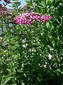 Achillea millefolium cv1.jpg