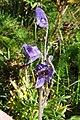 Aconitum napellus inflorescence (23).jpg