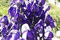 Aconitum napellus inflorescence (44).jpg